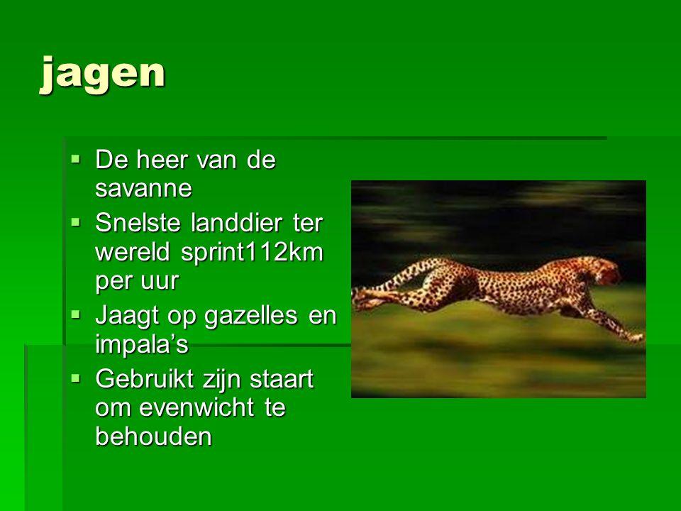 jagen  De heer van de savanne  Snelste landdier ter wereld sprint112km per uur  Jaagt op gazelles en impala's  Gebruikt zijn staart om evenwicht t