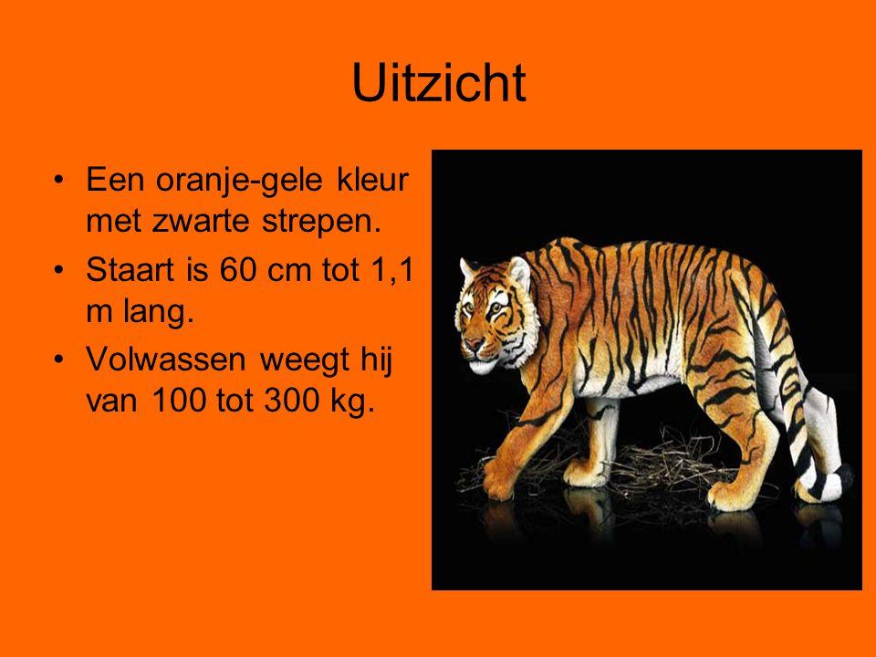 Uitzicht Een oranje-gele kleur met zwarte strepen. Staart is 60 cm tot 1,1 m lang. Volwassen weegt hij van 100 tot 300 kg.