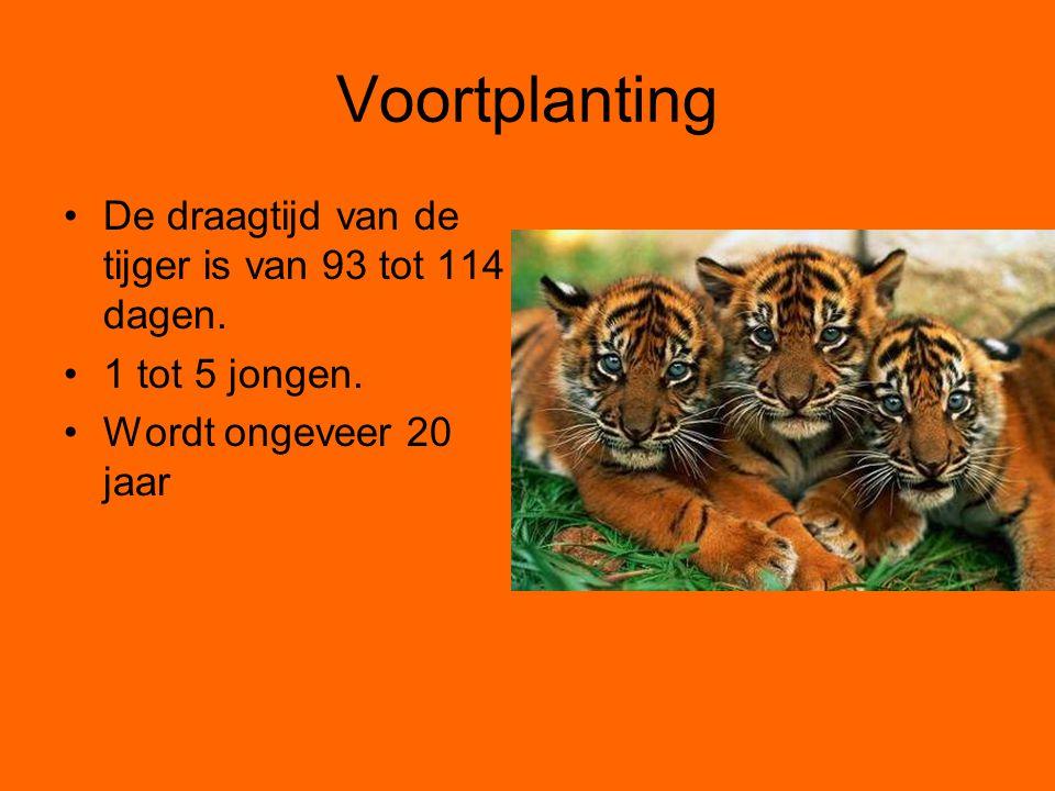 Voortplanting De draagtijd van de tijger is van 93 tot 114 dagen. 1 tot 5 jongen. Wordt ongeveer 20 jaar