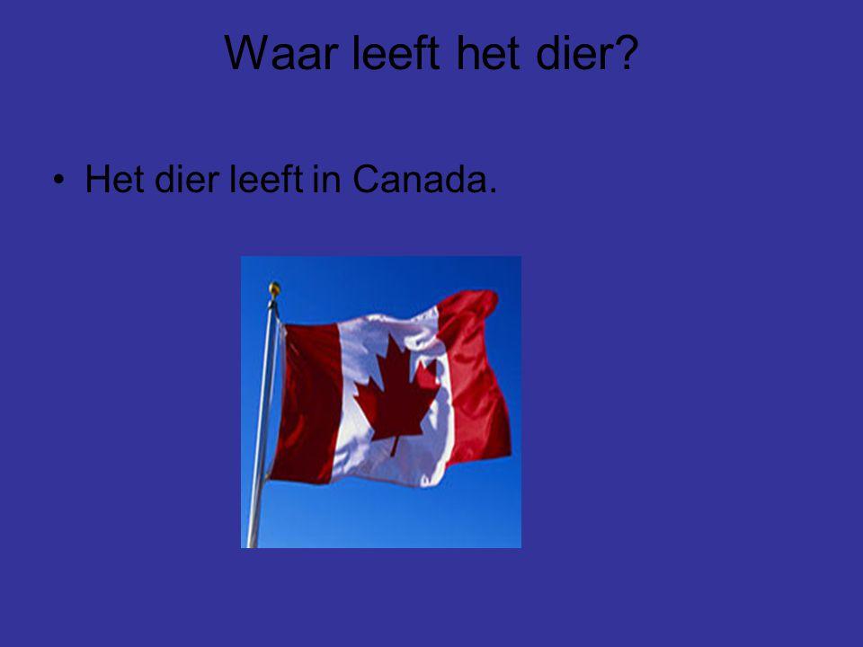 Waar leeft het dier? Het dier leeft in Canada.