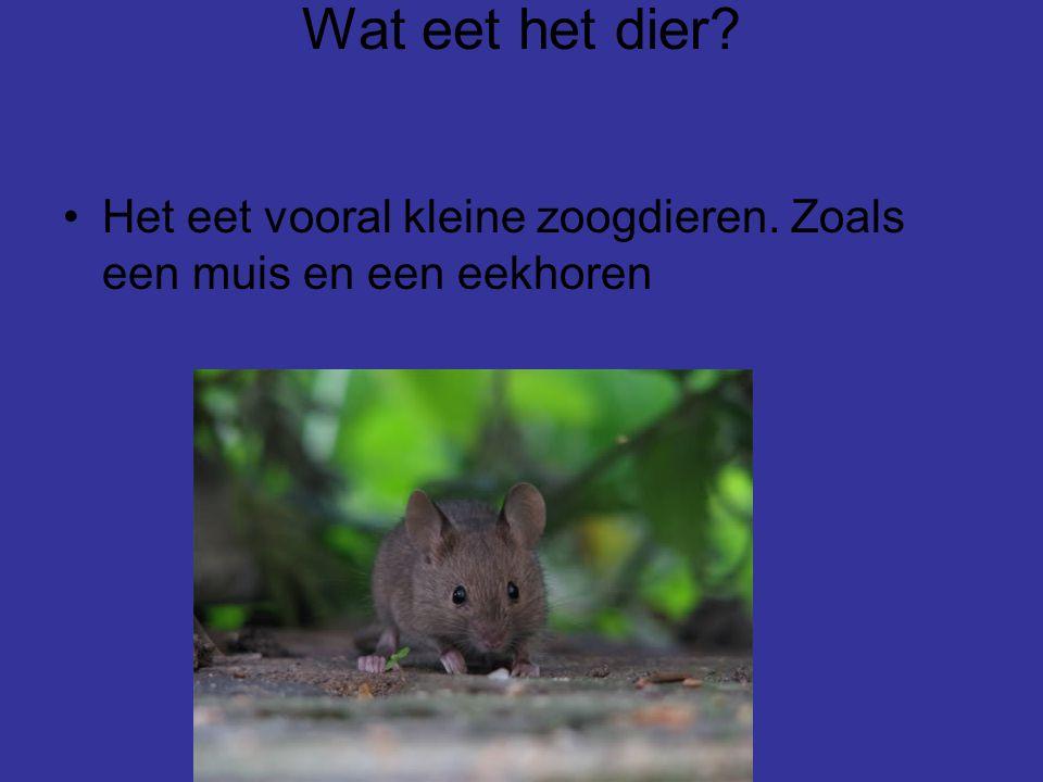 Wat eet het dier? Het eet vooral kleine zoogdieren. Zoals een muis en een eekhoren