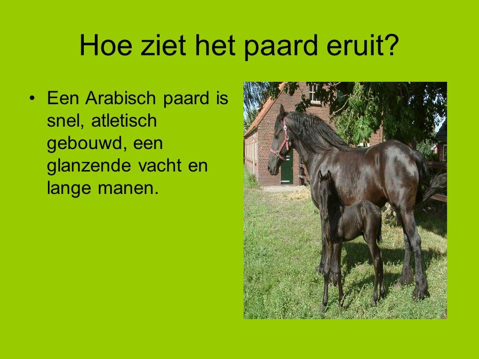 Hoe ziet het paard eruit? Een Arabisch paard is snel, atletisch gebouwd, een glanzende vacht en lange manen.