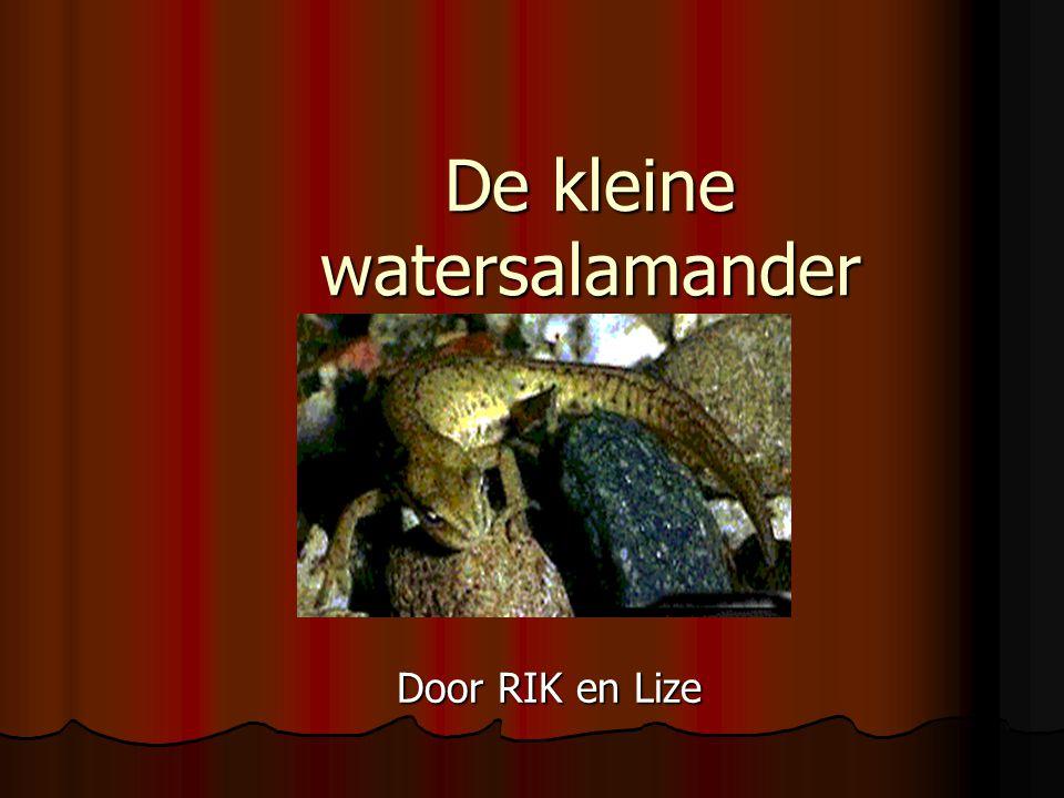 De kleine watersalamander Door RIK en Lize
