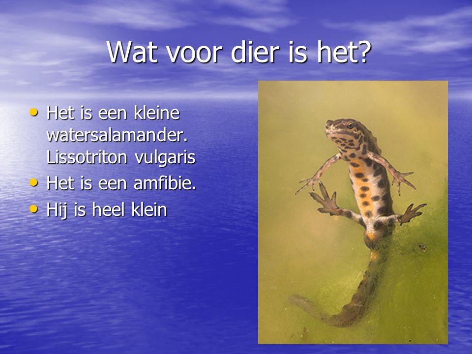 Wat voor dier is het? Het is een kleine watersalamander. Lissotriton vulgaris Het is een kleine watersalamander. Lissotriton vulgaris Het is een amfib