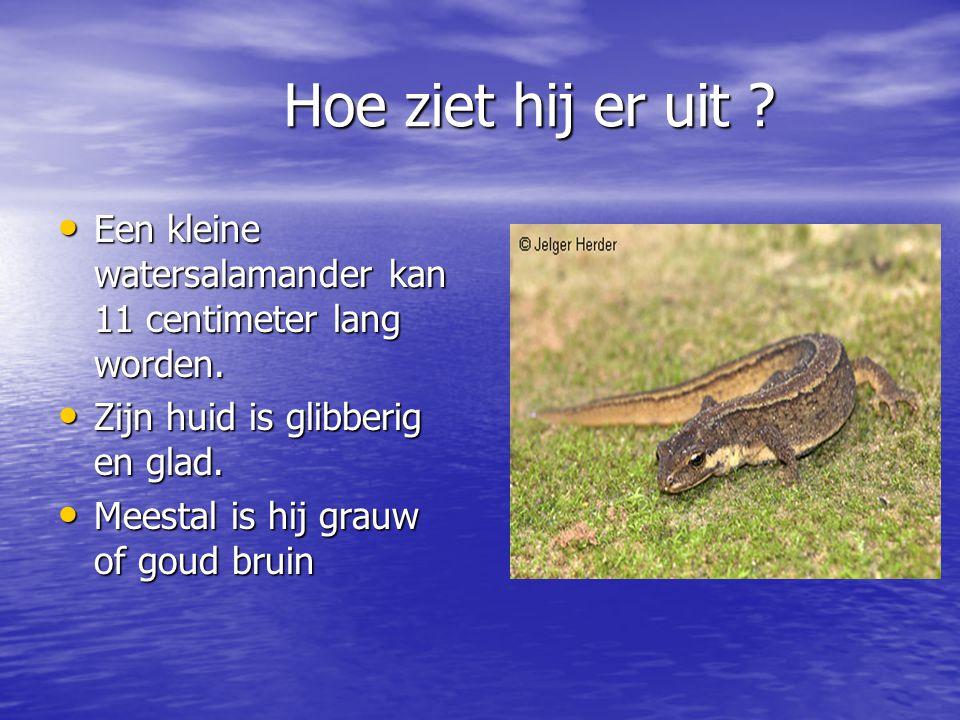 Hoe ziet hij er uit ? Een kleine watersalamander kan 11 centimeter lang worden. Een kleine watersalamander kan 11 centimeter lang worden. Zijn huid is