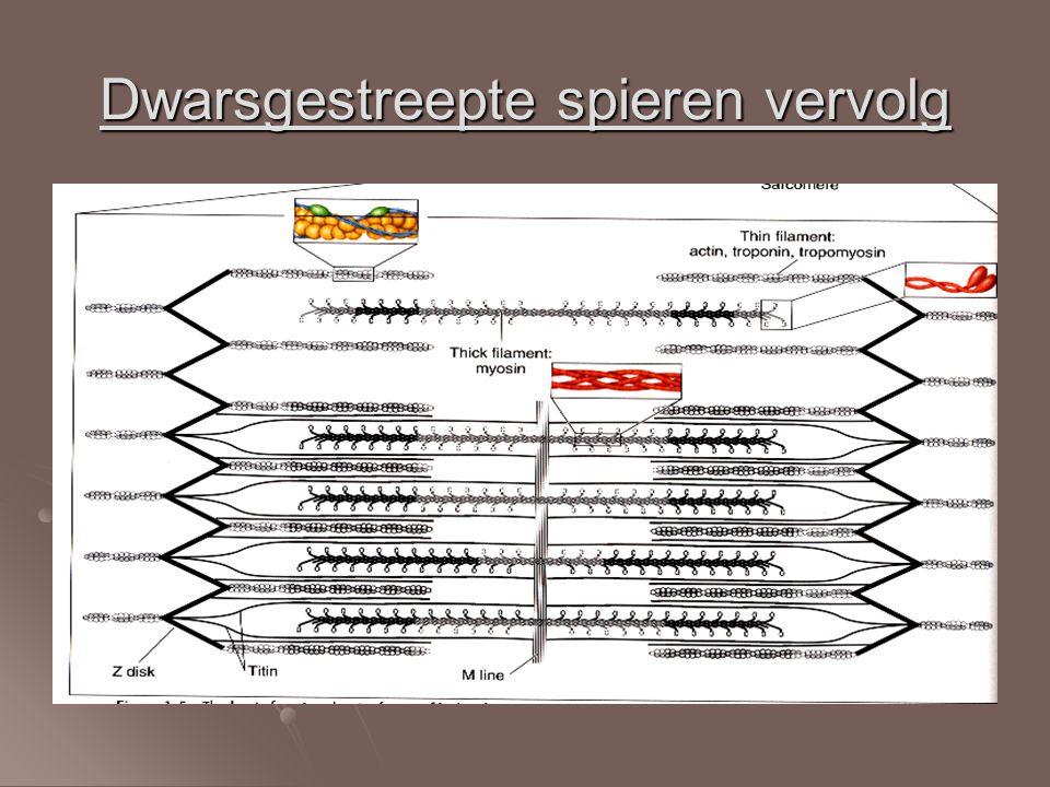 Filamenten Dikke myosinefilamenten Dikke myosinefilamenten Dunne actinefilamenten Dunne actinefilamenten Samen zorgen ze voor de spiercontracties.