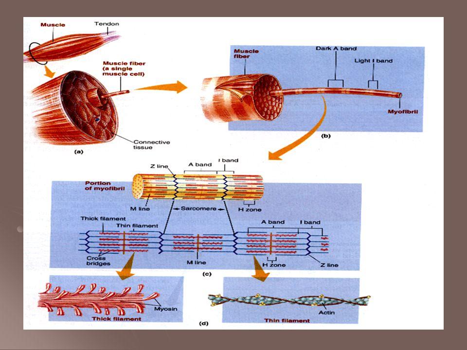 Het sarcotubulair systeem Prikkels van zenuwcel naar spiervezels Prikkels van zenuwcel naar spiervezels T tubuli geleiden potentiaalverschillen tijdens actiepotentiaal over spiermembraan T tubuli geleiden potentiaalverschillen tijdens actiepotentiaal over spiermembraan SR of sarco plasmatisch reticulum SR of sarco plasmatisch reticulum Calcium depot van de spiervezel Calcium depot van de spiervezel