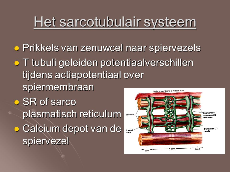 Het sarcotubulair systeem Prikkels van zenuwcel naar spiervezels Prikkels van zenuwcel naar spiervezels T tubuli geleiden potentiaalverschillen tijden