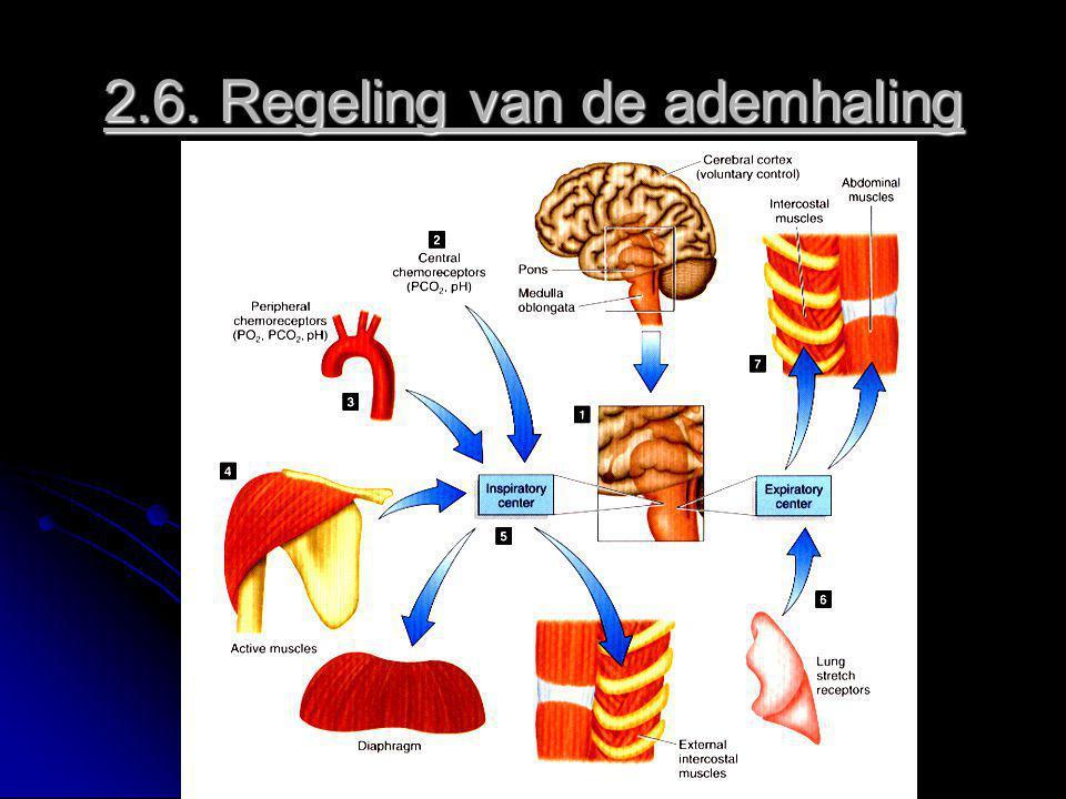 2.6. Regeling van de ademhaling