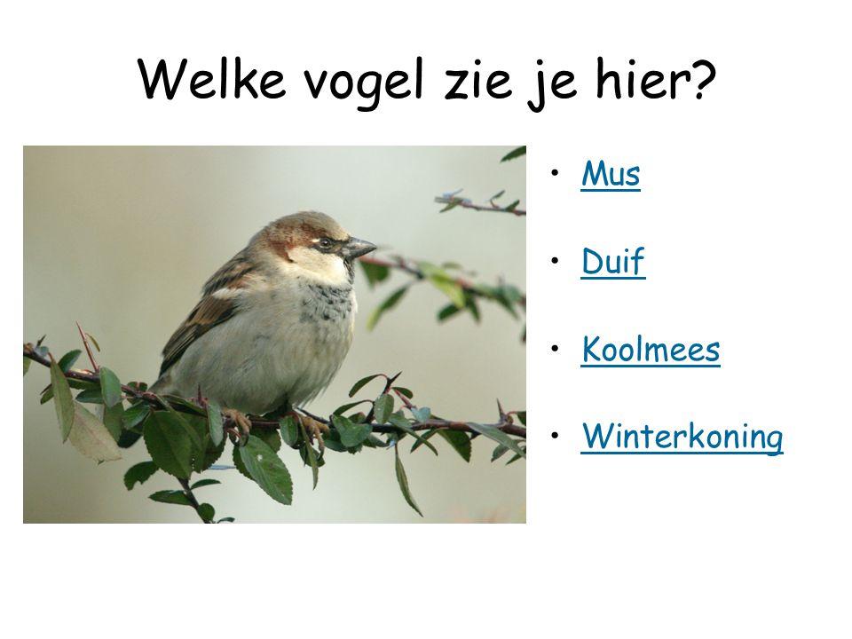Welke vogel zie je hier? Mus Duif Koolmees Winterkoning