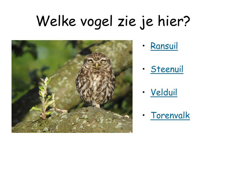 Welke vogel zie je hier? Ransuil Steenuil Velduil Torenvalk