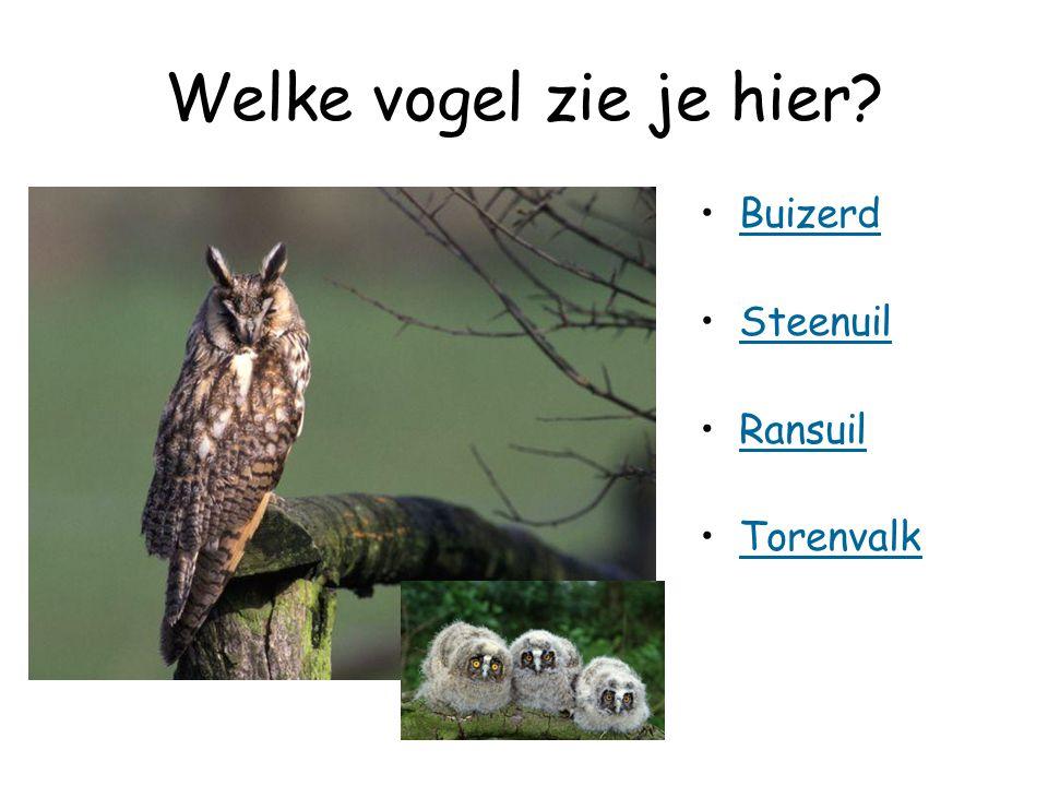 Welke vogel zie je hier? Buizerd Steenuil Ransuil Torenvalk