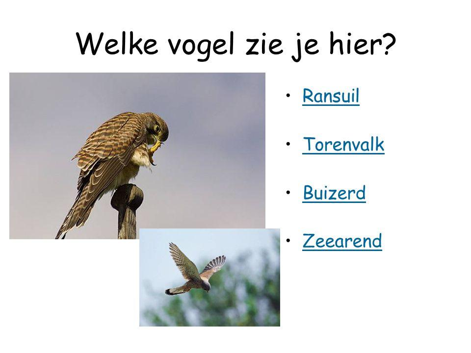 Welke vogel zie je hier? Ransuil Torenvalk Buizerd Zeearend