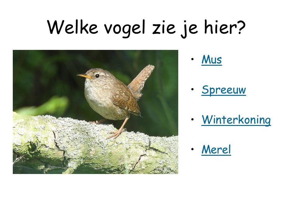 Welke vogel zie je hier? Mus Spreeuw Winterkoning Merel