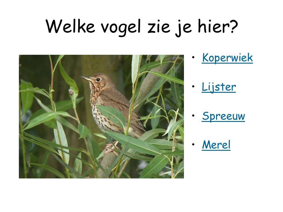 Welke vogel zie je hier? Koperwiek Lijster Spreeuw Merel