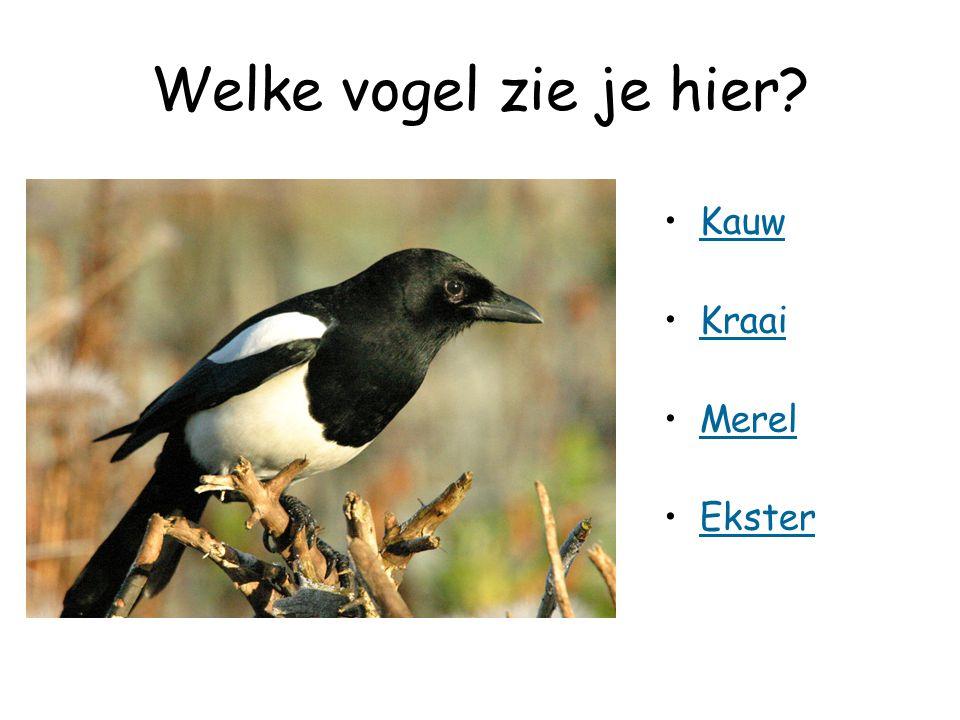 Welke vogel zie je hier? Kauw Kraai Merel Ekster