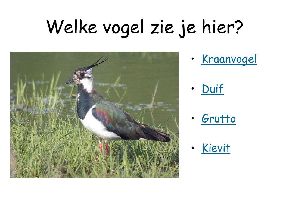 Welke vogel zie je hier? Kraanvogel Duif Grutto Kievit