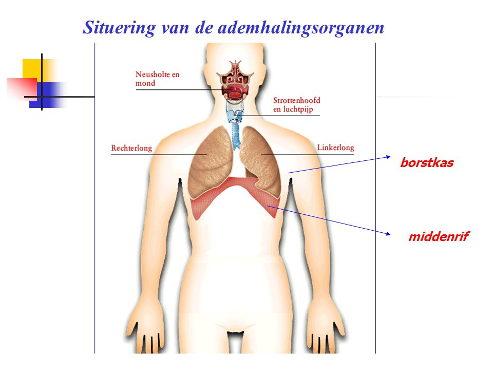 middenrif Situering van de ademhalingsorganen borstkas