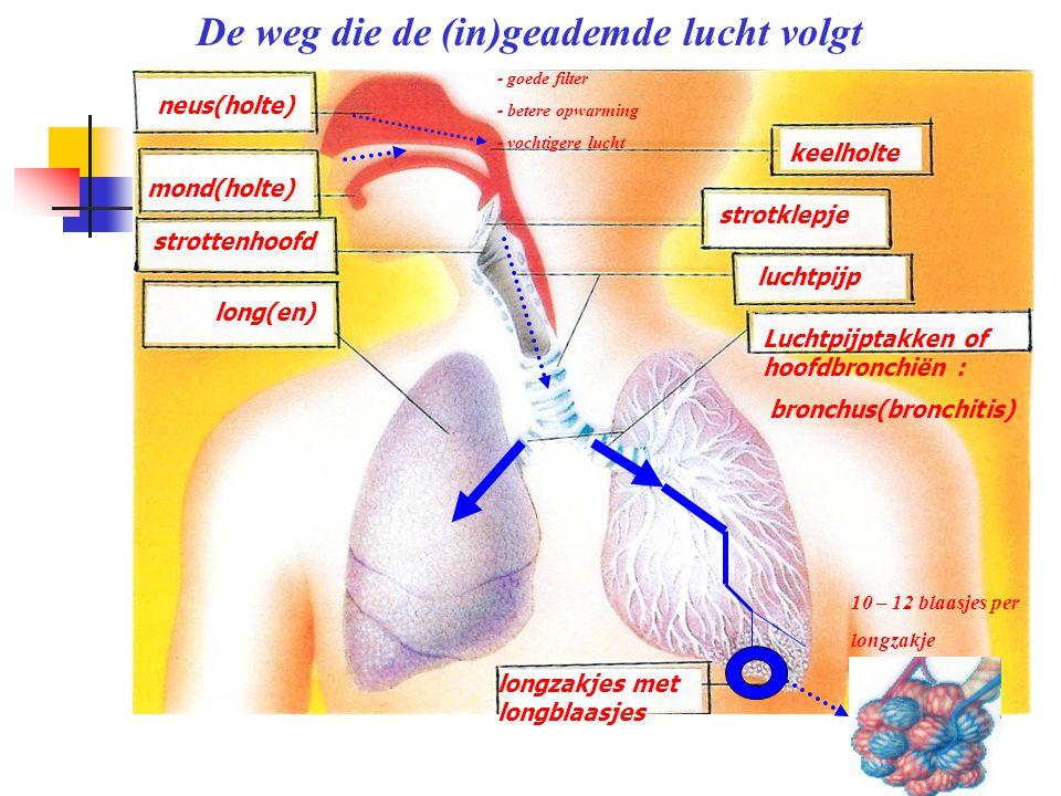 neus(holte) mond(holte) strottenhoofd long(en) keelholte strotklepje luchtpijp Luchtpijptakken of hoofdbronchiën : bronchus(bronchitis) longzakjes met