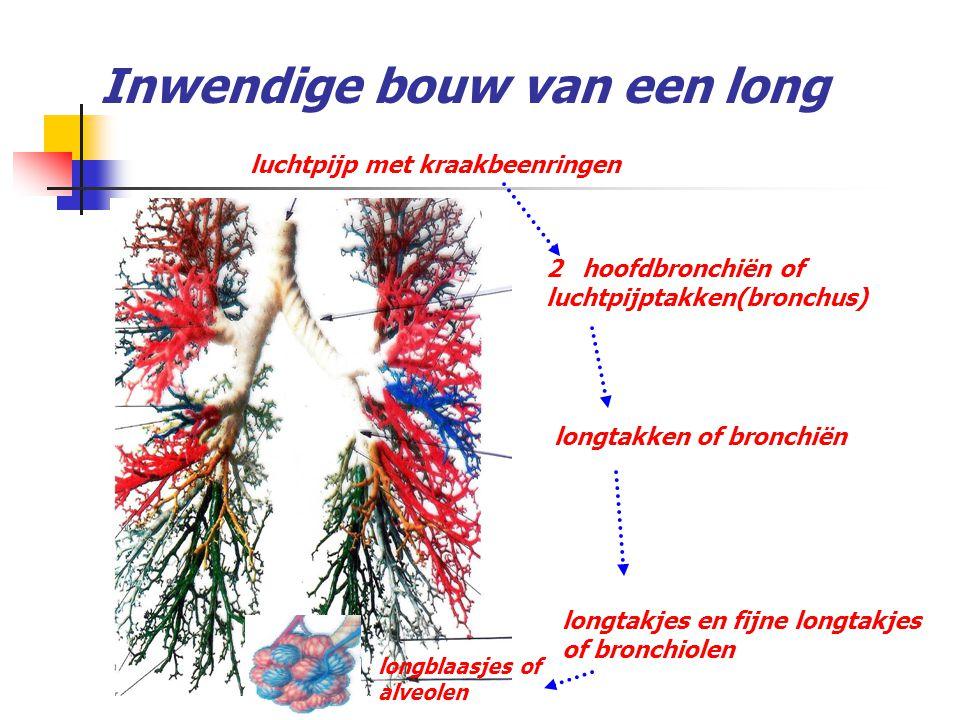 Inwendige bouw van een long luchtpijp met kraakbeenringen 2 hoofdbronchiën of luchtpijptakken(bronchus) longtakken of bronchiën longtakjes en fijne lo