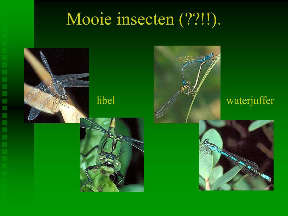 Mooie insecten (??!!). libelwaterjuffer