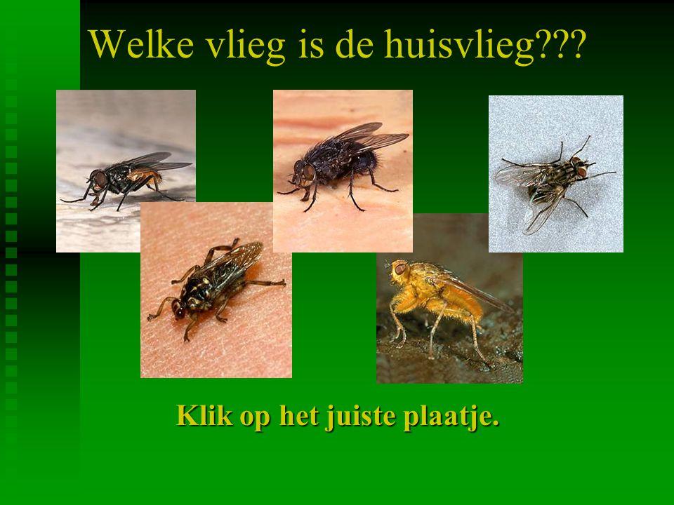 Welke vlieg is de huisvlieg??? Klik op het juiste plaatje.
