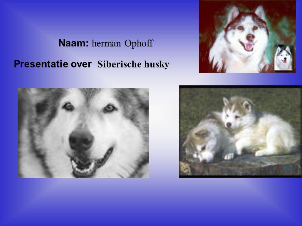 """Naam: herman Ophoff Presentatie over Siberische husky Klik op """"Naam"""". Vul je naam in. Doe hetzelfde met """"hobby"""" Hier kun je een foto / tekening Invoeg"""