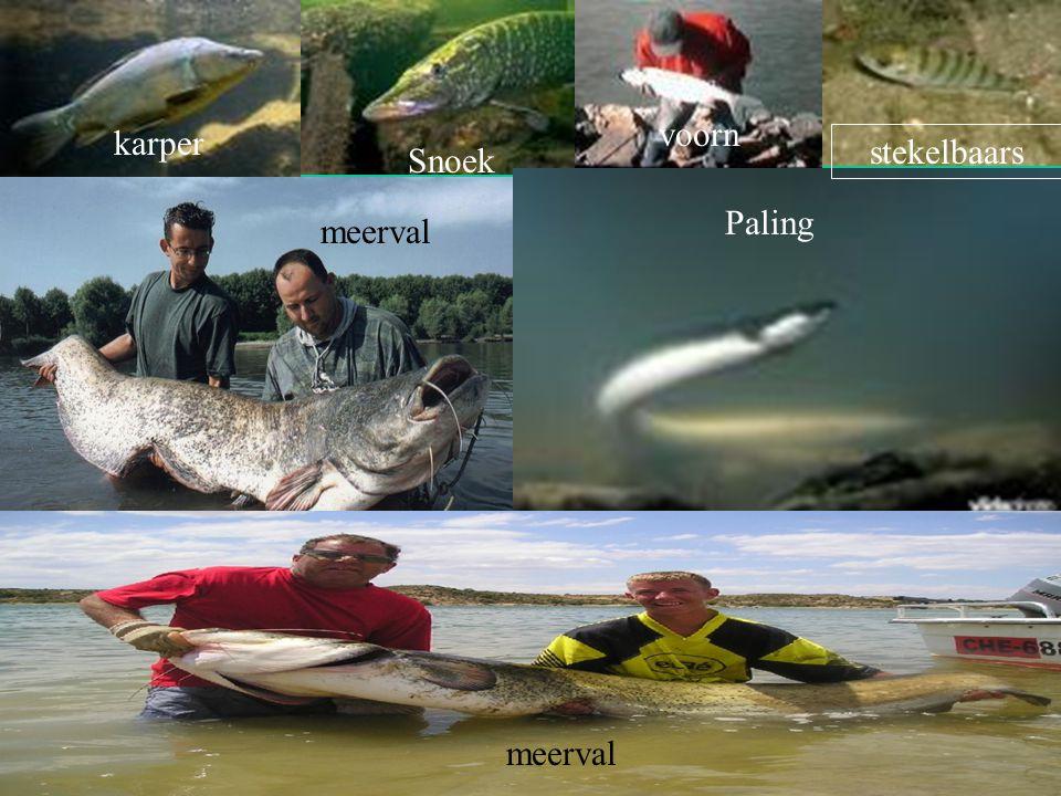 wat voor soort vissen zijn er in zoet water Karper snoek Stekel baars Voorn brasum Paling Meerval