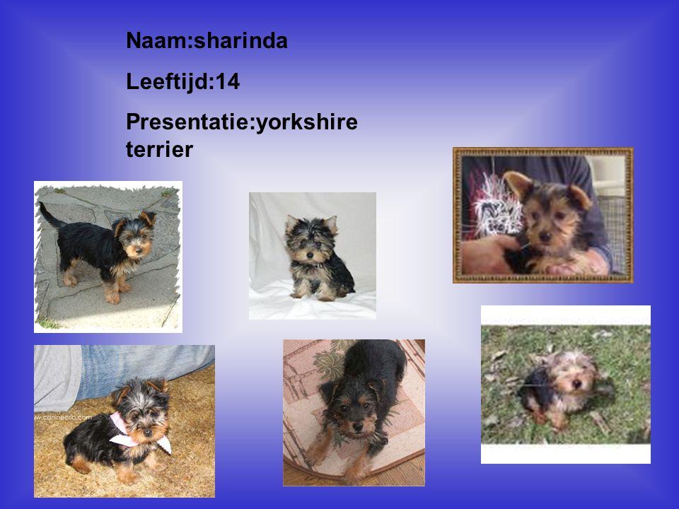 """Naam:sharinda Leeftijd:14 Presentatie:yorkshire terrier Klik op """"Naam"""". Vul je naam in. Doe hetzelfde met """"hobby"""" Hier kun je een foto / tekening Invo"""