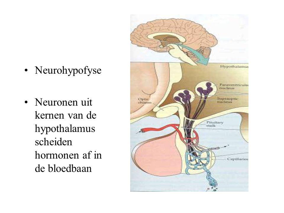 l Neurohypofyse Neuronen uit kernen van de hypothalamus scheiden hormonen af in de bloedbaan