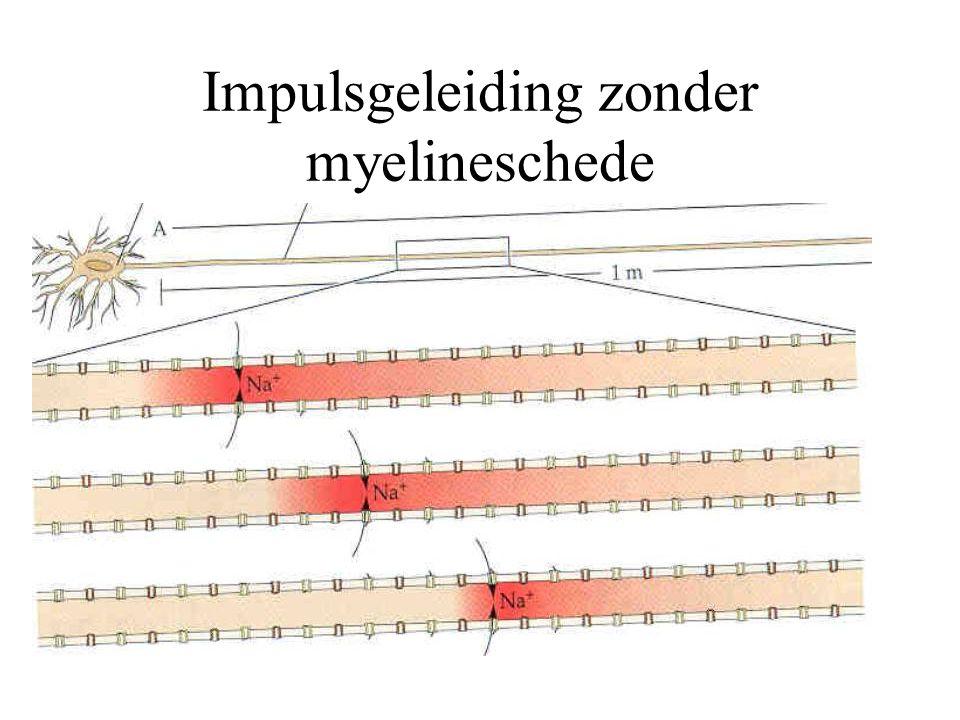 Impulsgeleiding zonder myelineschede