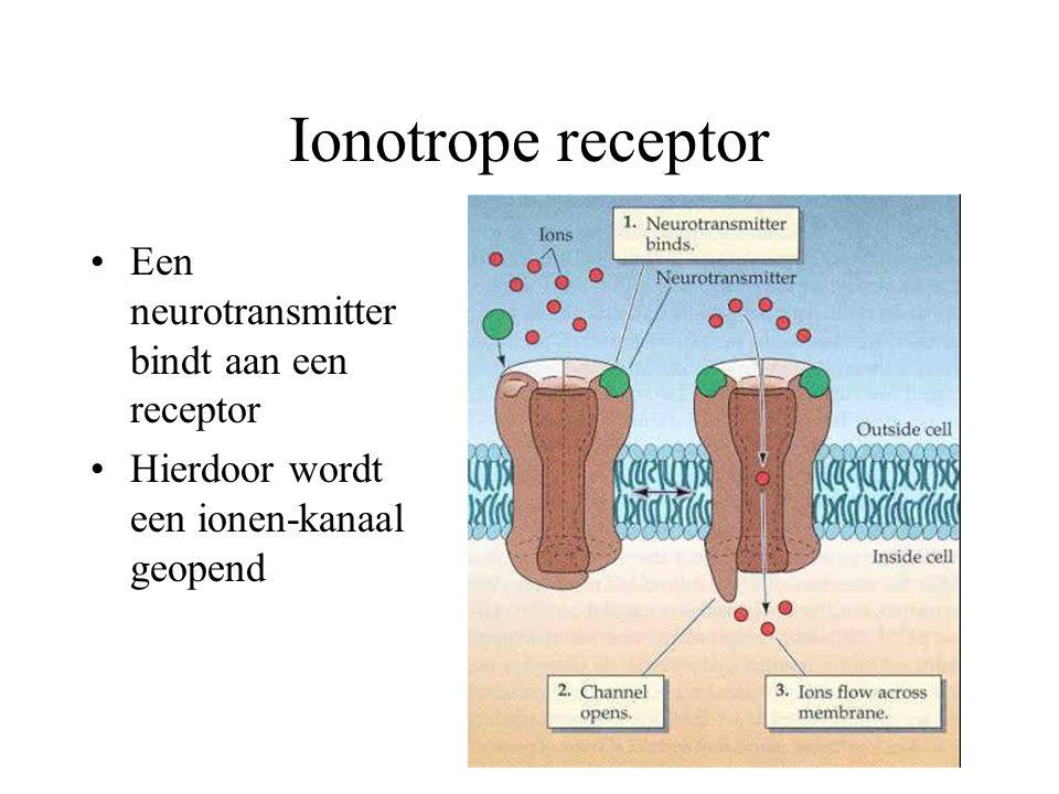 Ionotrope receptor Een neurotransmitter bindt aan een receptor Hierdoor wordt een ionen-kanaal geopend