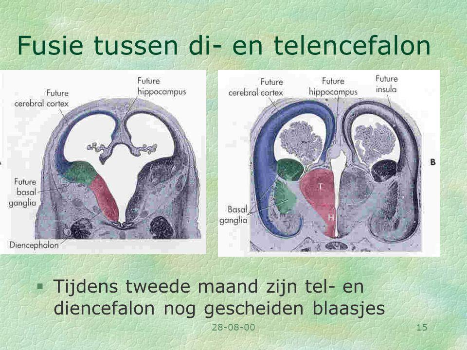 28-08-0015 Fusie tussen di- en telencefalon §Tijdens tweede maand zijn tel- en diencefalon nog gescheiden blaasjes