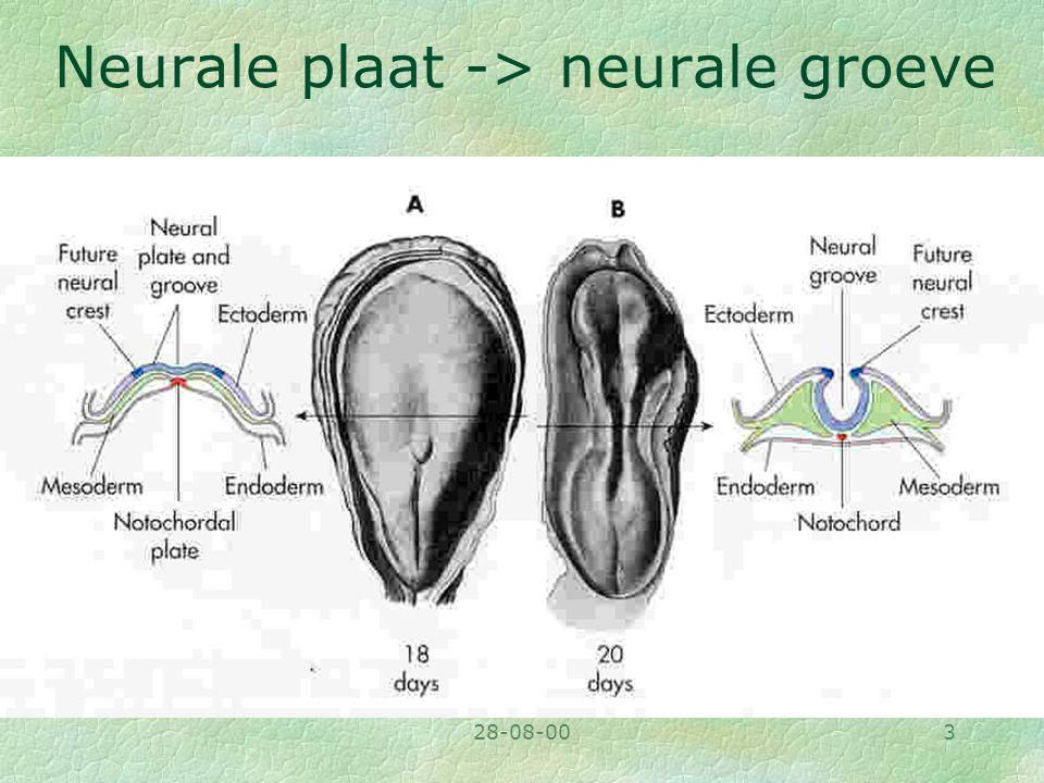 28-08-003 Neurale plaat -> neurale groeve