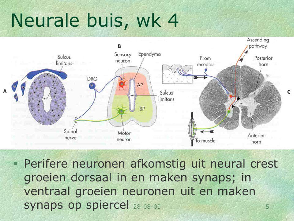 28-08-005 Neurale buis, wk 4 §Perifere neuronen afkomstig uit neural crest groeien dorsaal in en maken synaps; in ventraal groeien neuronen uit en mak
