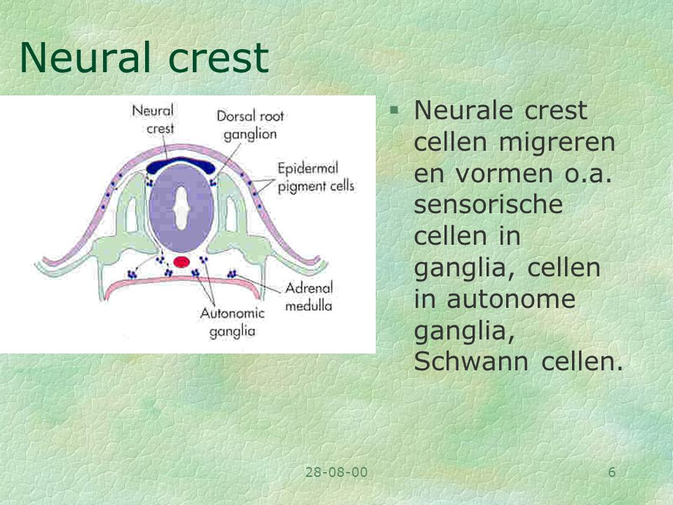 28-08-006 Neural crest §Neurale crest cellen migreren en vormen o.a. sensorische cellen in ganglia, cellen in autonome ganglia, Schwann cellen.