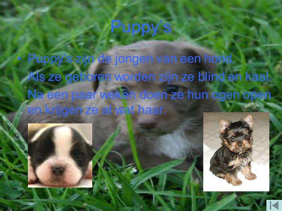 De sint Bernard De sint Bernard is een grote hond. Ze zijn heel lomp, maar ze zijn wel heel lief. Ze drinken heel veel. Ze hebben een dikke en lange v