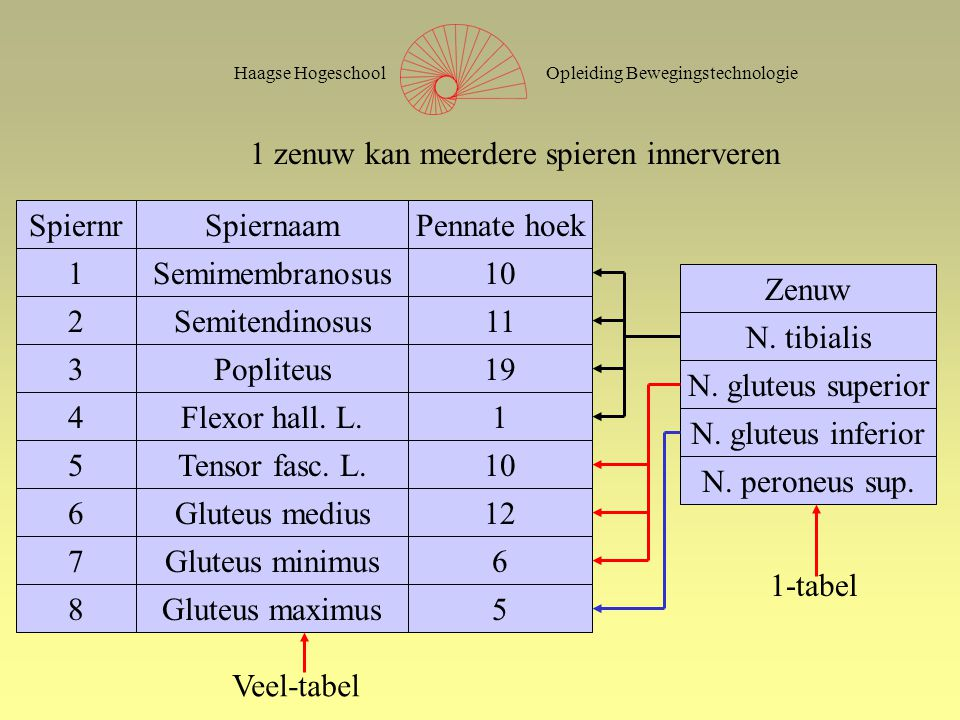 Opleiding BewegingstechnologieHaagse Hogeschool SpiernrSpiernaamPennate hoek 1Semimembranosus10 2Semitendinosus11 3Popliteus19 4Flexor hall.