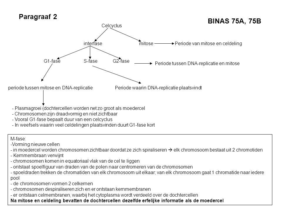 Paragraaf 2 Celcyclus interfasemitose G1-faseS-faseG2-fase periode tussen mitose en DNA-replicatie - Plasmagroei (dochtercellen worden net zo groot al
