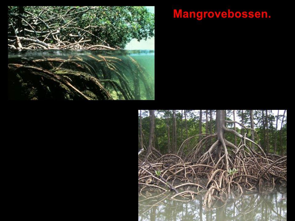 Mangrovebossen.