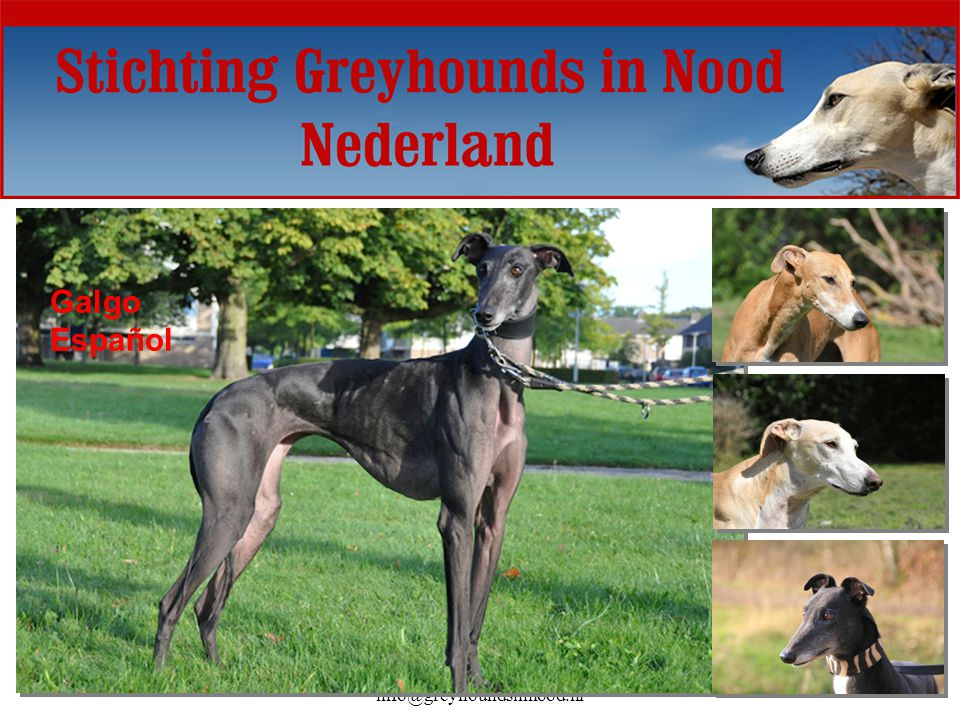 www.greyhoundsinnood.nl - info@greyhoundsinnood.nl Galgo Español