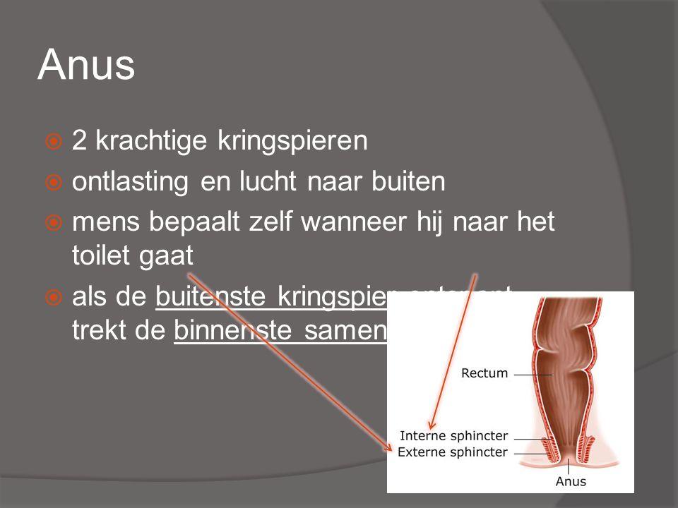 Anus  2 krachtige kringspieren  ontlasting en lucht naar buiten  mens bepaalt zelf wanneer hij naar het toilet gaat  als de buitenste kringspier ontspant, trekt de binnenste samen