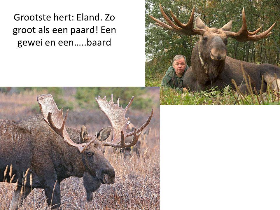 Grootste hert: Eland. Zo groot als een paard! Een gewei en een…..baard