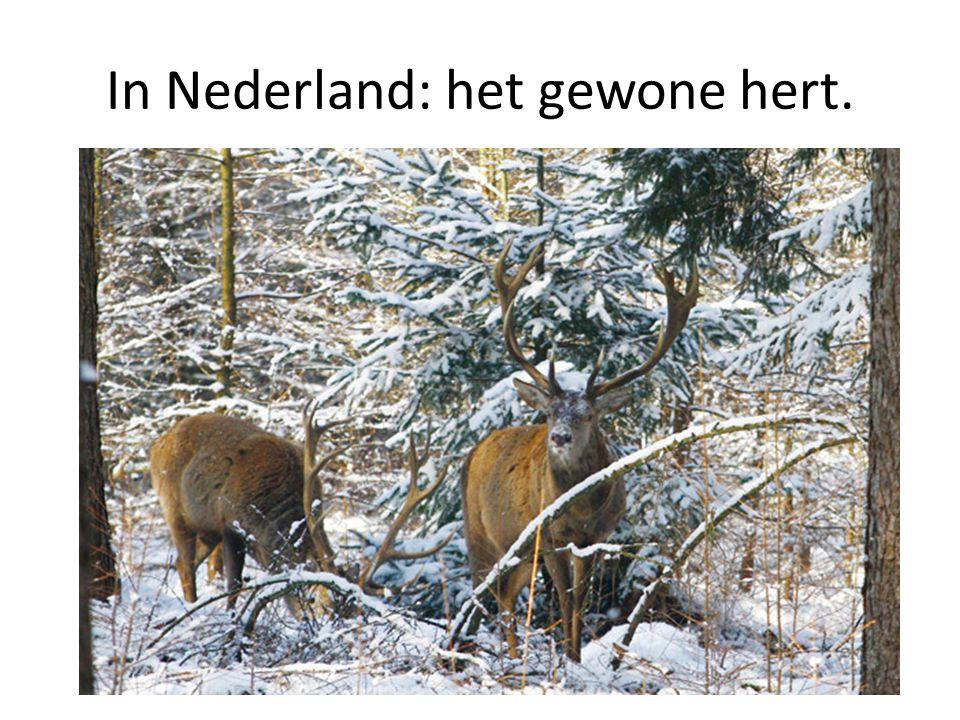 In Nederland: het gewone hert.