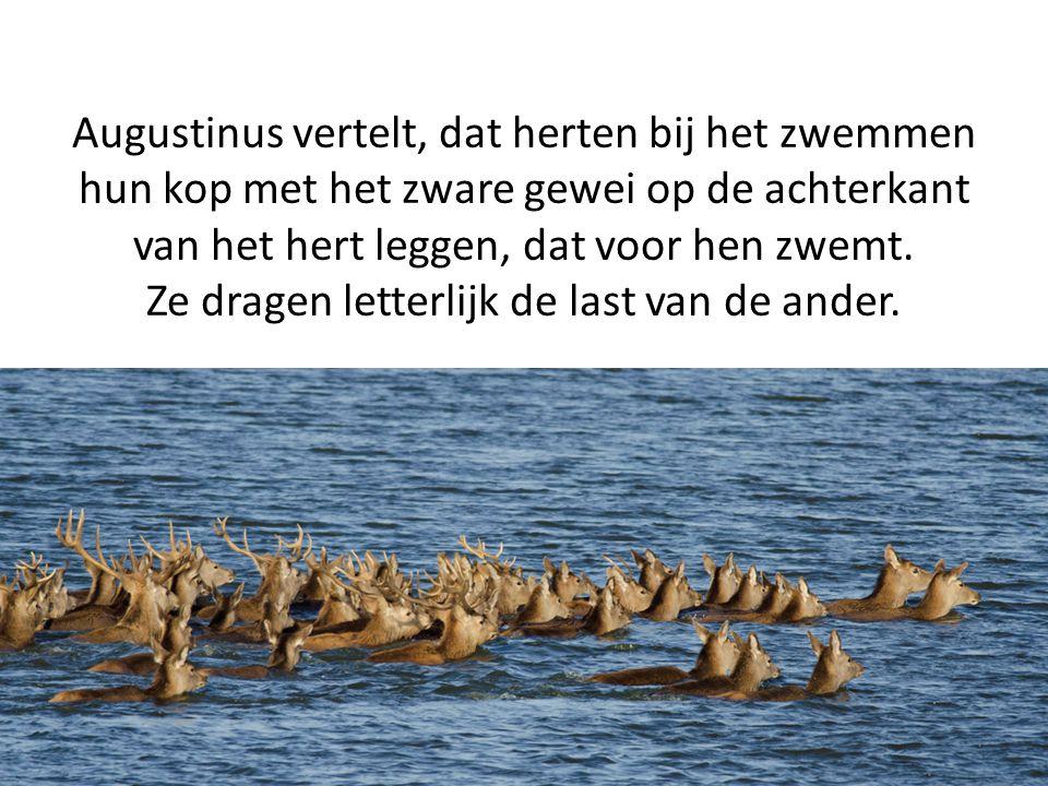 Augustinus vertelt, dat herten bij het zwemmen hun kop met het zware gewei op de achterkant van het hert leggen, dat voor hen zwemt. Ze dragen letterl