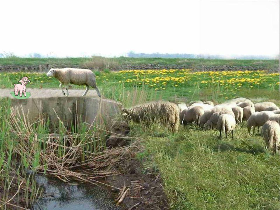 Als er 1 schaap over de dam loopt, volgen er meer