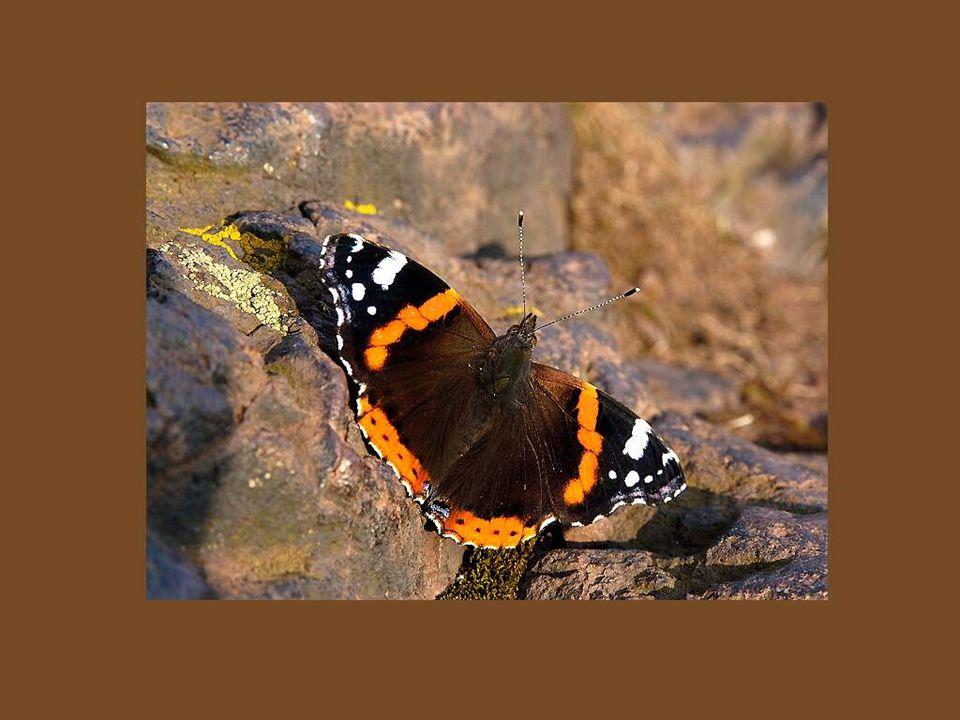 L amour c est comme un papillon; il est hors de portée quand on le chasse ; mais si on le laisse tranquille, il peut très bien venir se poser sur notre épaule..