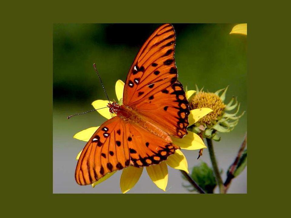 Les papillons ne sont que des fleurs envolées un jour de fête où la nature était en veine d invention et de fécondité..