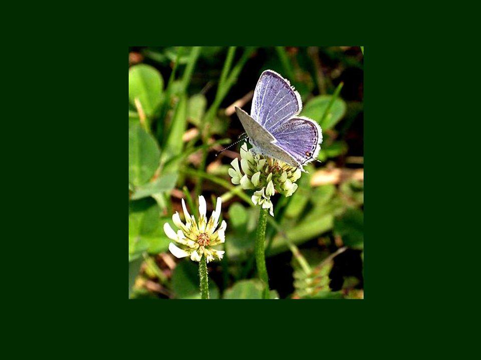 Qu est-ce qu un fat sans fatuité .Ôtez les ailes à un papillon; ce n est plus qu'une chenille.