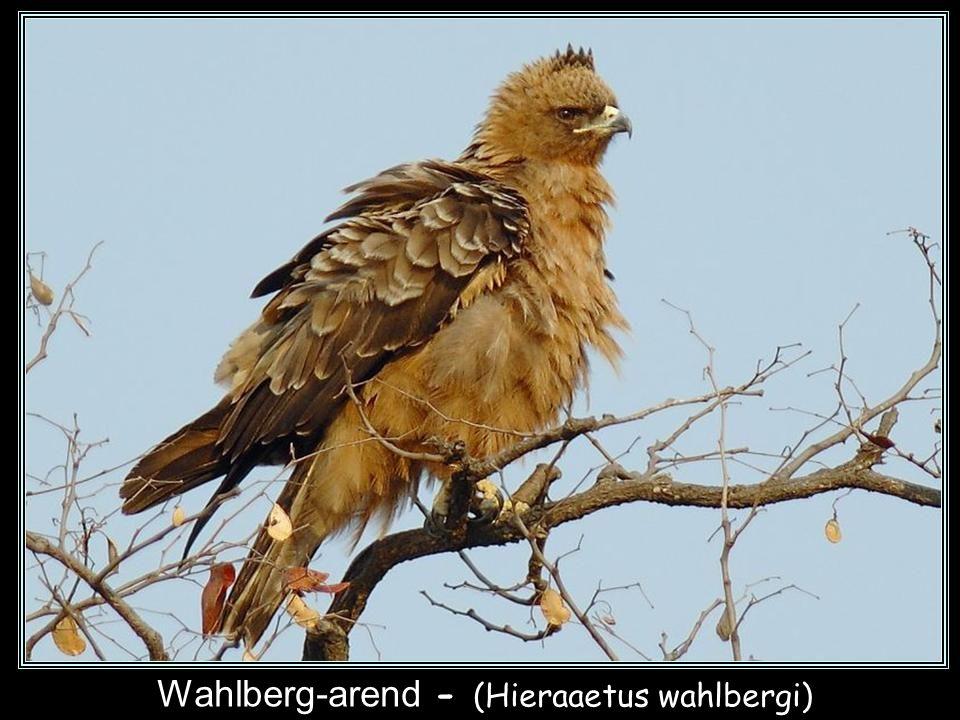 Zwarte arend - (Aquila verreauxii)